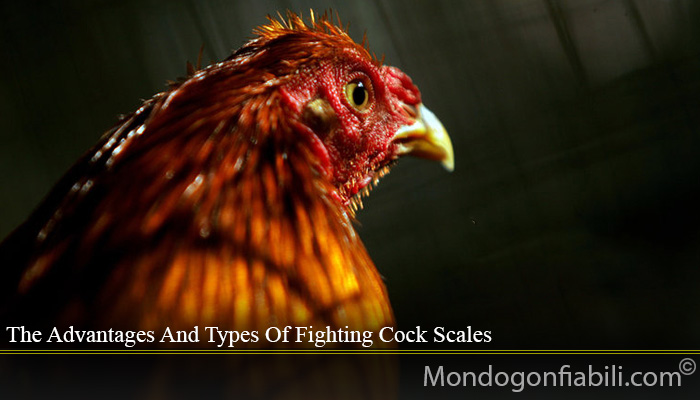 The Advantages And Types Of Fighting Cock Scales